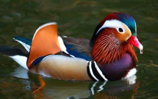 Rêver de canard signification
