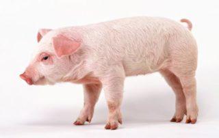 Rêver de cochon