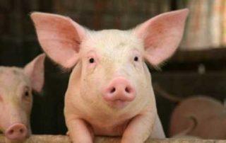 Rêver de cochon signification