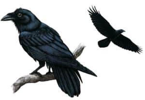 Un rêve de corbeau et son interprétation: