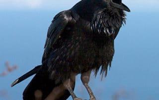 Rêve de corbeau interprétation