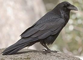 Rêver de corbeau signification