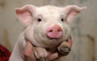 Rêver de tête de cochon