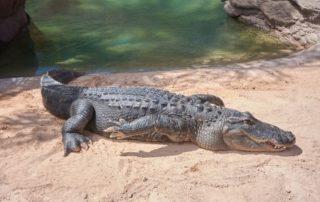 Rêver de crocodile signification exacte