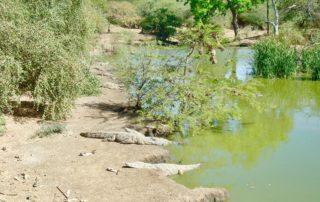 Faire le rêve de crocodiles:
