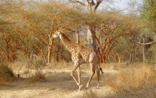 Rêver de girafe et son interprétation: