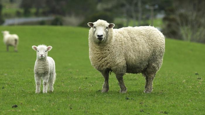 R 234 Ver De Mouton En Islam Sens Et Interpr 233 Tation R 234 Ves