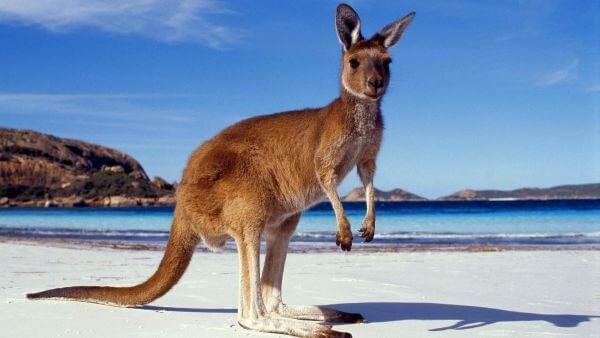 Rêver de kangourou et son interprétation: