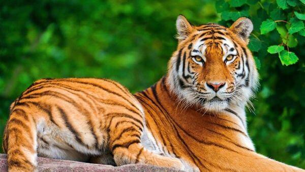 Rêver de tigre et son interprétation: