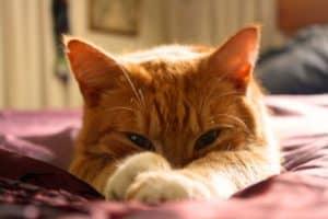 Rêver de chat roux et son interprétation: