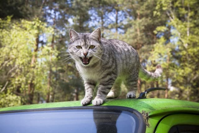 Le rêve d'attaque de chat et sa signification: