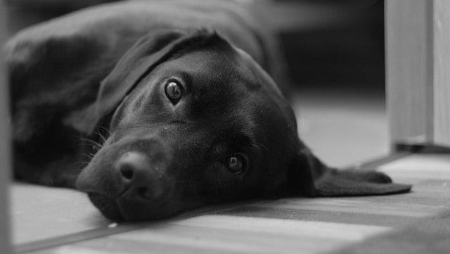 Le rêve de chien noir et sa signification: