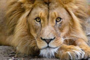 Le rêve de lion et sa signification: