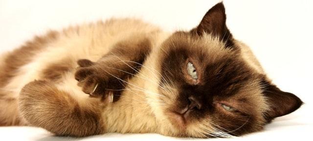 Interprétations des rêves de chats: