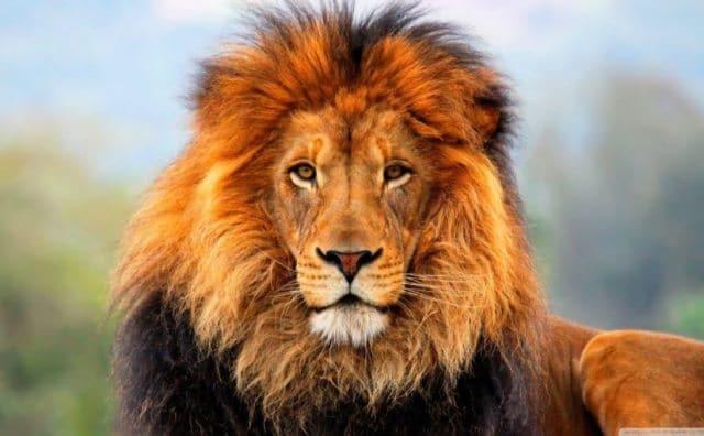 Que signifie un rêve de lion ?