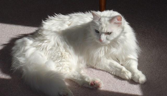 Pourquoi rêver de chat angora ?