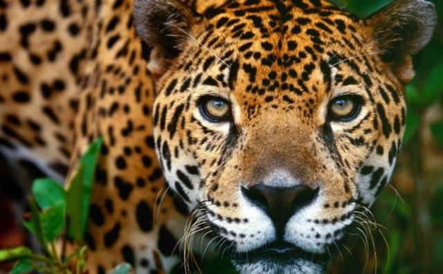 Que signifie un rêve de jaguar ?